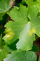 Vine leaf showing attack by downy mildew le cellier des princes chateauneuf du pape rhone france