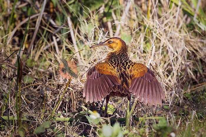 King Rail displaying both wings  in wetland among vegetation