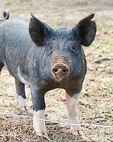 An inquisitive pig