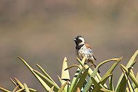 Cape Sparrow in Goegap Nature and Wildflower Reserve, Namaqualand, South Africa