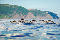 Spotted dolphin (stenella frontalis) Spotted dolphins at high speed. Azores.