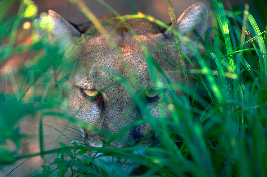A Florida Panther peering through tall grass in the Everglades, Florida.