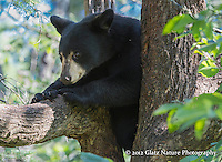 Young Black Bear (Ursus americanus) finds a safe, shady spot to relax on a hot summer day, Northern Minnesota.