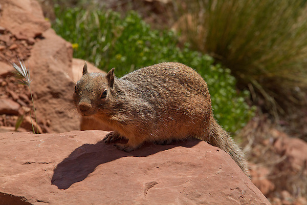 Red squirrel in Grand Canyon National Park, northern Arizona. .  John leads private, wildlife photo tours throughout Colorado. Year-round. . John offers private photo tours in Grand Canyon National Park and throughout Arizona, Utah and Colorado. Year-round.