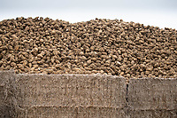 1-3-2021 Sugar beet n the clamp  towards the end of the season in Lincolnshire.<br />  ©Tim Scrivener Photographer 07850 303986<br />      ....Covering Agriculture In The UK....