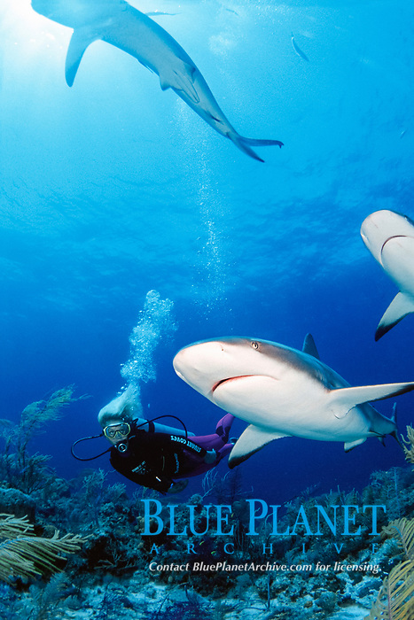 female diver and Caribbean reef sharks, Carcharhinus perezii, attracted to bait at Stuart Cove's Dive South Ocean Company, Bahamas, Caribbean Sea, Atlantic Ocean