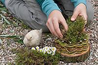 Mädchen, Kind baut ein Osternest aus Baumscheibe, Weidenästchen, Moos, Gänseblümchen und bunten Ostereiern; 4. Schritt: Das Körbchen wird mit Moos ausgepolstert, Huhn, Hühner-Küken guckt zu