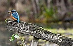 Kingfisher beign defiant by Ron Allin