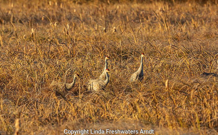 Sandhill cranes feeding in Crex Meadows (northwest Wisconsin).