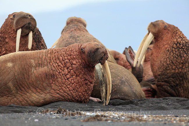 Walrus have begun to use Izembek NWR in recent years, most likely becasue changes in the Bering Sea due to climate change are shifting the locations and abundance of food resources. Large numbers of them haul out on the protected barrier isalnd that seperates Izembek Lagoon form the Bering Sea betwen foraging trips out to sea. Izembek NWR, Alaska. August.