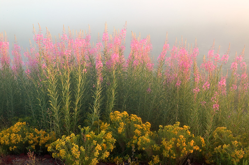 Fireweed and rabbitbrush at Klamath Marsh National Wildlife Refuge with fog. Oregon