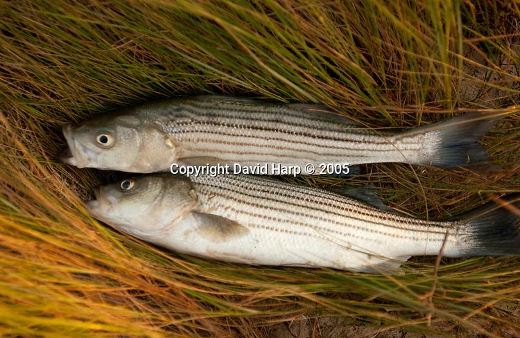 Freshly caught rockfish will be eaten for dinner that evening