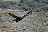 Golden Eagle lifting off from ground position, Wyoming roadside