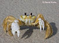 0604-0911  Ghost Crab (Sand Crab) on Beach at Outer Banks in North Carolina, Ocypode quadrata  © David Kuhn/Dwight Kuhn Photography