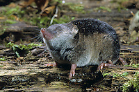 Waldspitzmaus, Wald-Spitzmaus, Spitzmaus, Maus, Sorex araneus, Eurasian common shrew