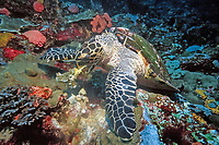 Hawksbill turtle, Eretmochelys imbricata, feeding on a sponge, Bali, Indian Ocean, Indonesia