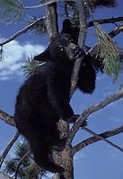 American Black Bear, Ursus americanus, looking down from pine tree.  Wyoming USA
