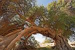 T-082 Jujube tree in Ein Hatzeva