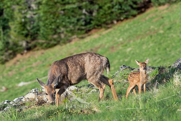 Columbian black-tailed deer (Odocoileus hemionus columbianus) doe with her young fawn. Pacific Northwest.  Summer.