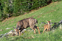 Columbian black-tailed deer (Odocoileus hemionus columbianus) doe with her young fawn. Pacific Northwest.  Summer.
