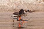 Sandpipers, & other shoreline birds