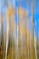 Blurred aspen treee in fall color. Grand Teton National Park, WYY
