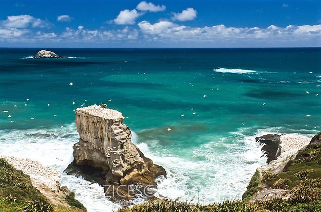 Gannet colony at Muriwai Beach near Auckland - Northland, New Zealand