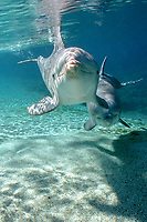 common bottlenose dolphins, Tursiops truncatus, Dolphin Quest, Hawaii, USA (c) (not to be used to promote anti-captivity campaigns)