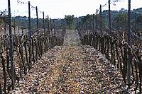 Domaine de Mas de Martin, St Bauzille de Montmel. Gres de Montpellier. Languedoc. Vines trained in Cordon royat pruning. Terroir soil. In the vineyard. France. Europe. Soil with stones rocks. Calcareous limestone.