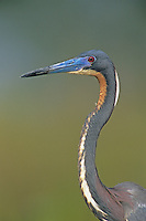 Tricolored Heron, Egretta tricolor,adult, Lake Corpus Christi, Texas, USA