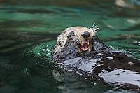 Sea Otter (Enhydra lutris) grooming
