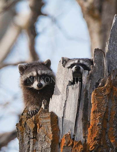 Two Raccoons in a dead tree in the Bitterroot Valley of Montana