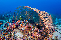 Reef fish trapped in a hand-made fish trap off Apo Island, Philippines, Pacific Ocean