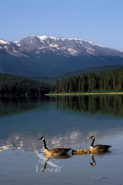 Canada Geese pair with chicks. Patricia Lake. Jasper National Park, Alberta. Canada. Rocky Mountains. (Branta canadensis).