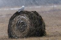 Immature female Snowy Owl (Bubo scandiacus). Ontario, Canada. January.