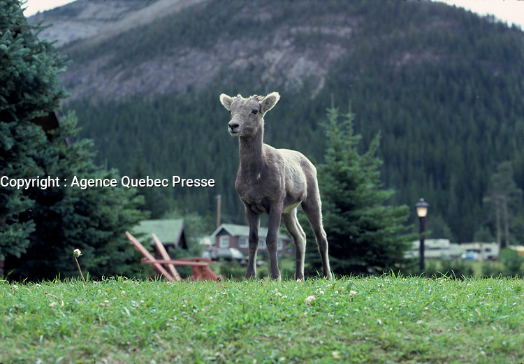 Alberta, CANADA, 1974 File Photo - animal in - Banff Park