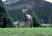 Alberta, CANADA, 1974 File Photo - animal in - Banff Park