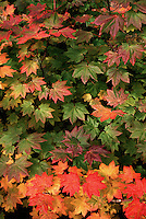 Close up of Vine maple leaves displaying autumn colors.