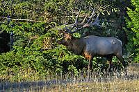 Rocky Mountain Elk bull (Cervus elaphus).  Northern Rockies.  Fall.