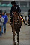 25 April 2010: Awesome Act being led back to the barn after a Monday morning jog at Churchill Downs in Louisville, Kentucky.