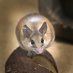 a solitary Cairo Spiny Mouse posing for its portrait.  Looking very round, the the expression is too cute!