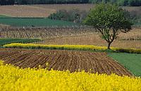 Europe/France/Poitou-Charentes/16/Charente/Env de Cognac : Champs de colza et vignoble