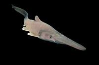 goblin shark, Mitsukurina owstoni, live specimen captured from deep sea off Tokyo, Tokyo Bay, Japan, Pacific Ocean