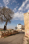 T-071 Mediterranean Hackberry tree in Yabrud