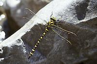 Zweigestreifte Quelljungfer, Männchen, Cordulegaster boltonii, Cordulegaster annulatus, Cordulegaster boltoni, Golden-ringed dragonfly, golden ringed dragonfly, male