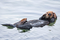 A curious young sea otter (Enhydra lutris nereis) is rubbing her face during grooming @ Moss Landing in the Monterey Bay National Marine Sanctuary . . peek-a-boo.