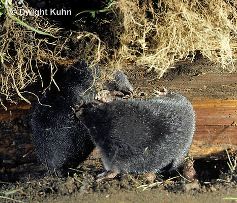 MB21-027z  Star-nosed Mole - adults fighting over territory - Condylura cristata