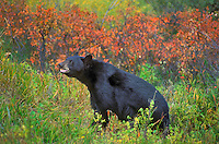 Black Bear..Autumn. Rocky Mountains..(Ursus americanus).