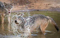 """BNPS.co.uk (01202) 558833<br /> Pic: ZacharyCulpin/BNPS<br /> <br /> Animals at Longleat in Wiltshire stay cool in the heat<br /> <br /> Wild swimming - a pack of European wolves enjoy a cooling dip at Longleat as temperatures<br /> start to rise ahead of a predicted heatwave over the weekend.<br /> The wolves, which were once native across the UK, were introduced to their Wiltshire<br /> woodland home in 2019.<br /> Since arriving at Longleat the pack has grown significantly with the arrival of two sets of<br /> cubs.<br /> """"The wolves actually love the water, especially during the summer, and will spend quite a lot<br /> of time splashing about in their pond and using it as somewhere to cool down,"""" said keeper<br /> Ian Turner."""