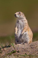 Black-tailed Prairie Dog sitting on the edge of its burrow